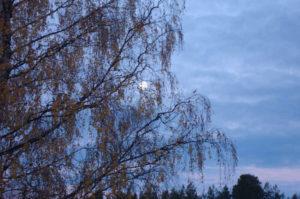 The moon, seen through the branches of a birch.