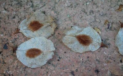 Dry elm samaras.